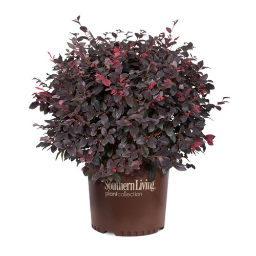 Red Diamond Loropetalum Cropped