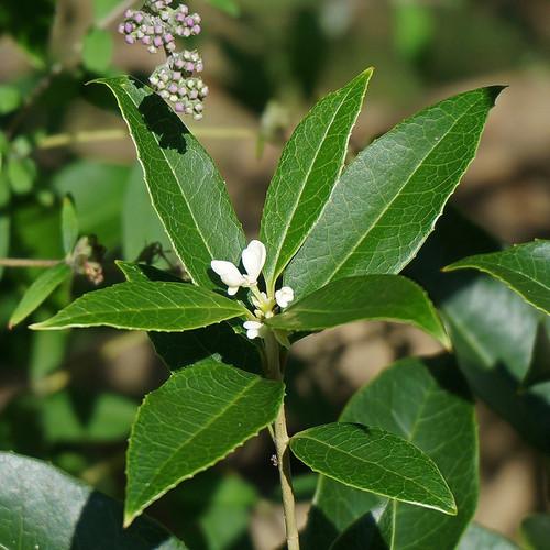 Fragrant Tea Olive Flower