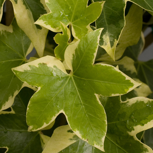 Angyo Star Fatshedera Foliage