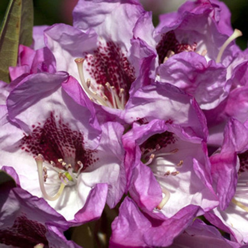 Southgate Radiance Rhododendron Cropped