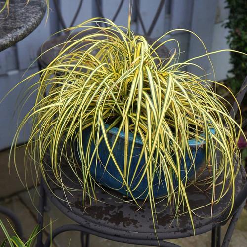Evercolor Everoro Carex Cropped