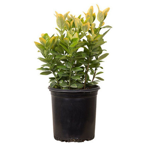 Golden Euonymus in Container