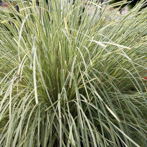Lomandra Platinum Beauty Cropped