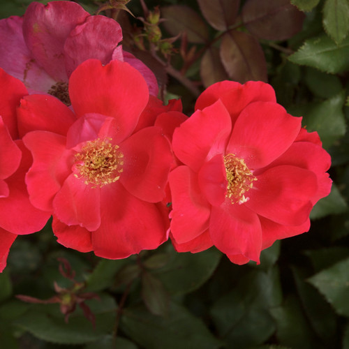 Red Knock Out Rose Blooms
