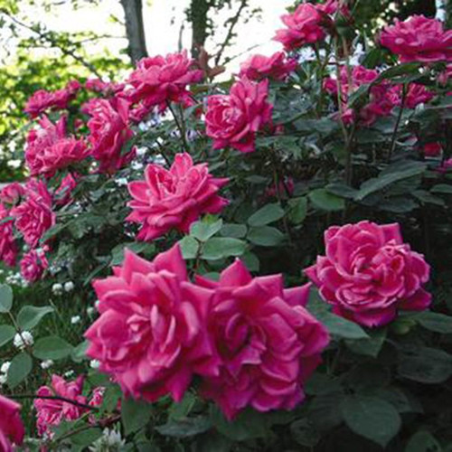 Pink Double Knock Out Rose Cropped