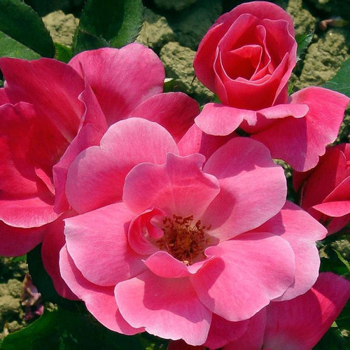 Pink Knock Out Rose Cropped