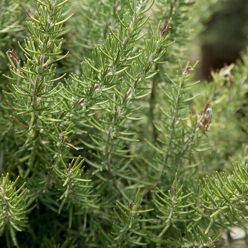 Chef's Choice Rosemary Cropped