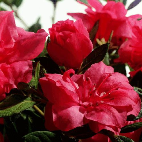 Autumn Rouge Encore Azalea Cropped