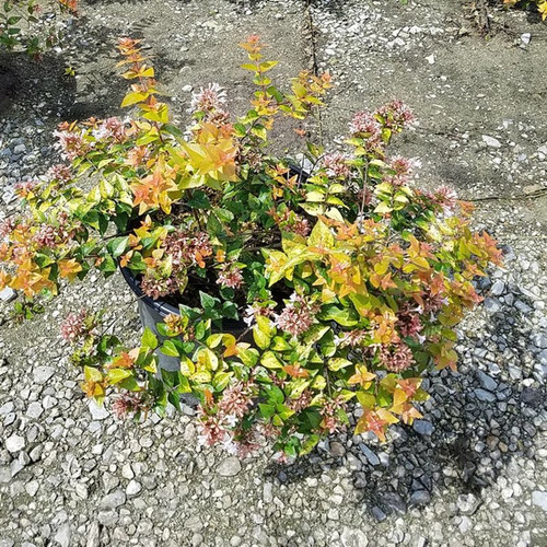 Abelia Canyon Creek In Container