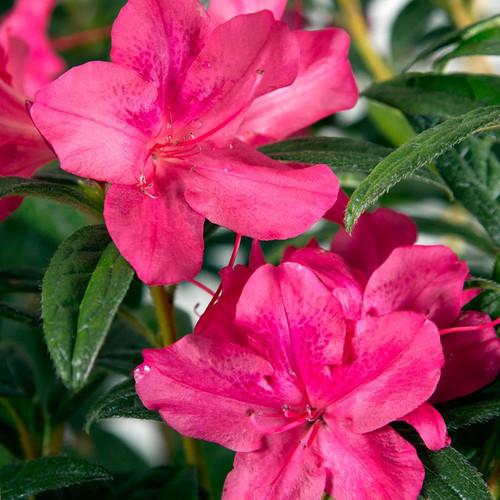 Autumn Jewel Encore Azalea