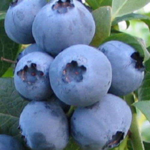 Bless Your Heart Blueberries on Plant Cropped