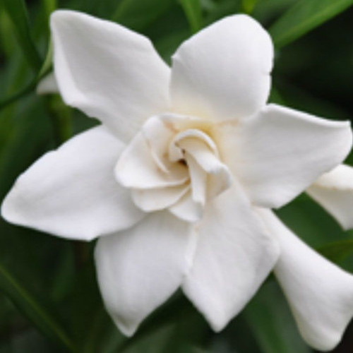 Frost Proof Gardenia White Flower Cropped