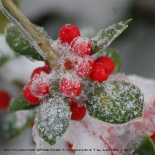 Dwarf Burford Holly Berries in Snow