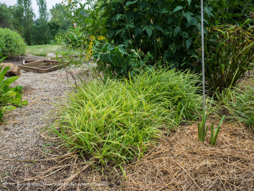 Variegated Liriope Plantaddictscom