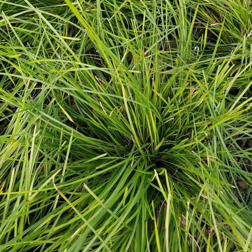 Lomandra Breeze Grass