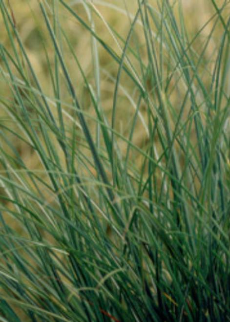 Adagio Maiden Grass Blades