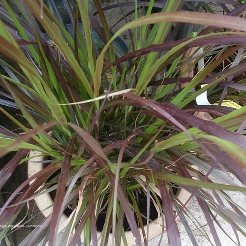 Purple Fountain Grass Blades