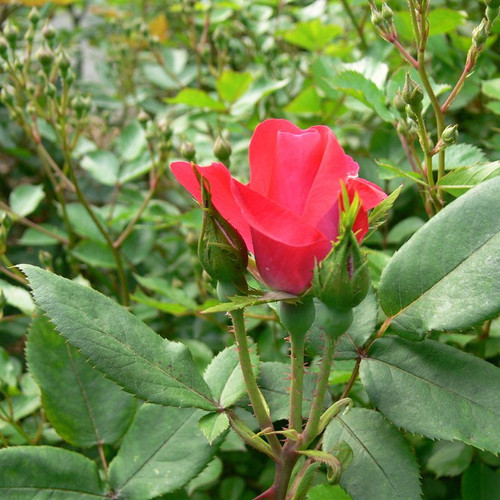Red Double Knockout Rose Bloom