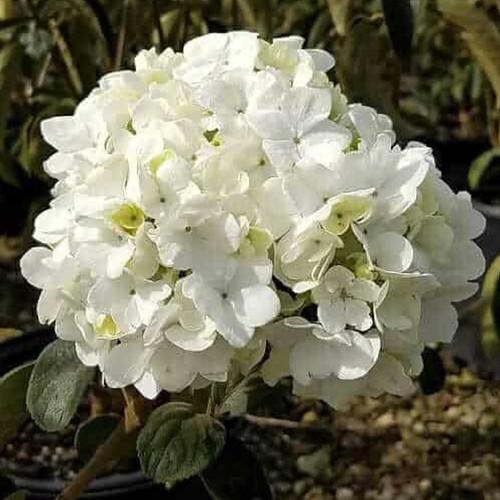 Chinese Snowball Viburnum Flower