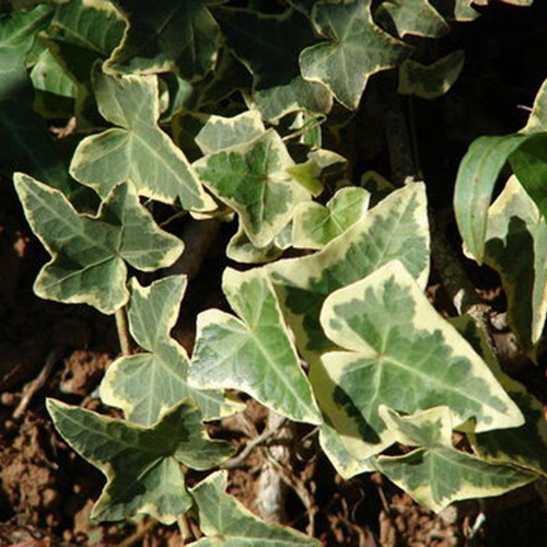 Variegated English Ivy Cropped