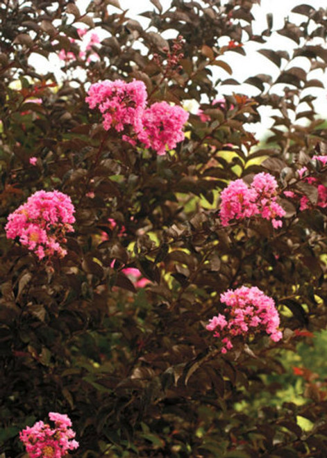 Lagerstroemia hybrid 'Chocolate Mocha' Pink Blooms