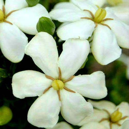 Heaven Scent Gardenia White Blooms