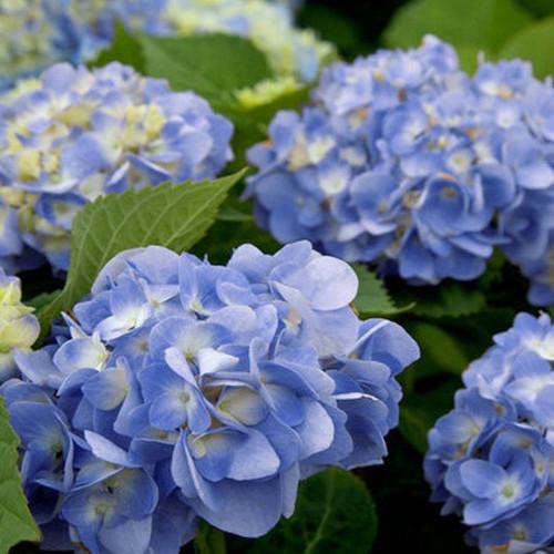 Dear Dolores Hydrangea Blooms Up Close