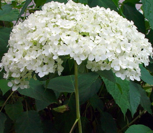 Hydrangea Arborescens Annabelle White Flower