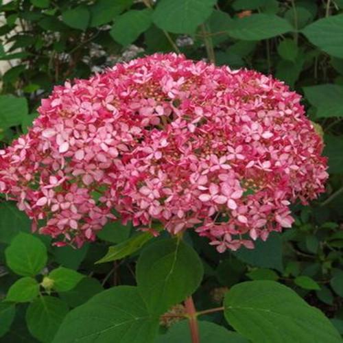 Invincibelle Spirit Hydrangea Pink Blooms