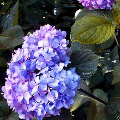 Nigra Hydrangea Flowers