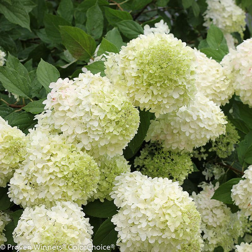 Green and White Limelight Hydrangea Flowers