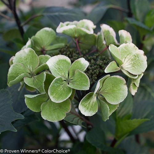 Abracadabra Star Hydrangea Flower