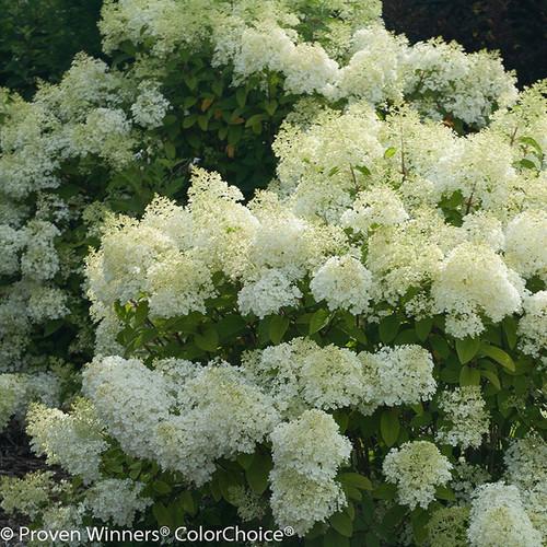 Bobo Hydrangea Blooms