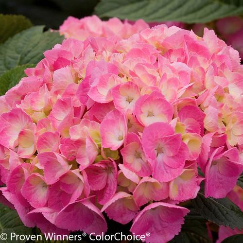 Let's Dance Big Easy Hydrangea Flower Close Up