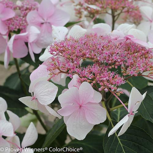 Let's Dance Diva Hydrangea Lacecap Flower
