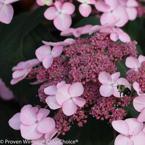 Pink Let's Dance Starlight Hydrangea Lacecap Flower