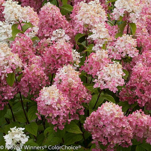 Pink and White Fire Light Hydrangea Flowers
