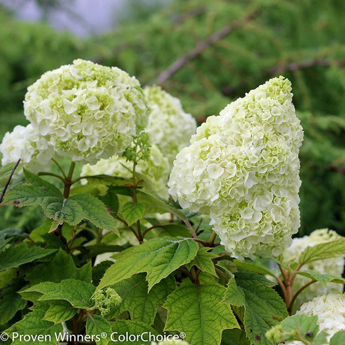 White and Green Gatsby Moon Hydrangea Flowers