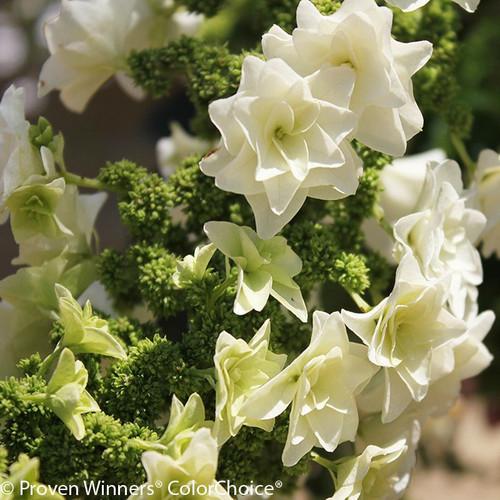 Gatsby Star Hydrangea Flower Florets Close Up