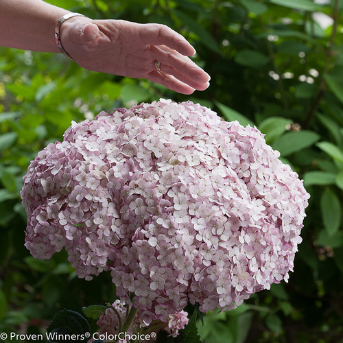 Enormous Incrediball Blush Hydrangea Flower Next To Hand