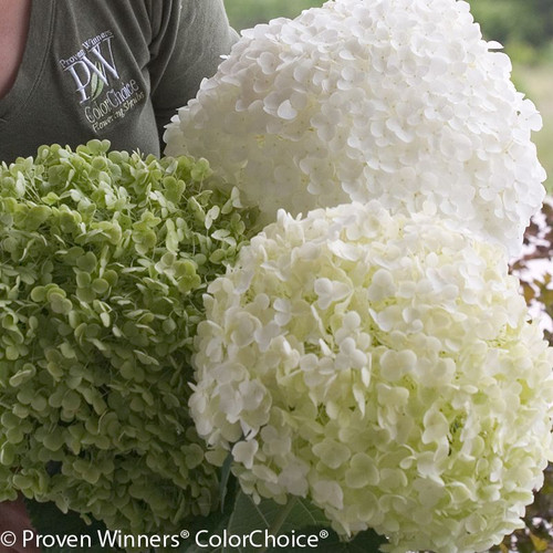 Huge Incrediball Hydrangea Flowers in Green and White