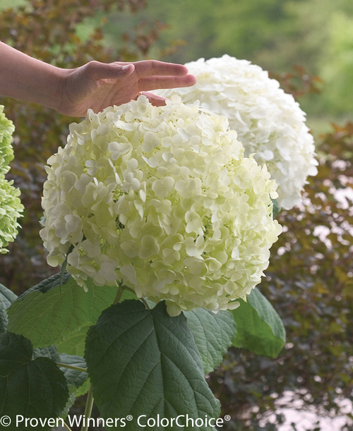 Incrediball Hydrangea Flower Next To Hand