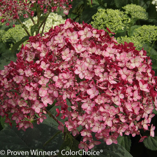 Red and White Invincibelle Ruby Hydrangea Flower