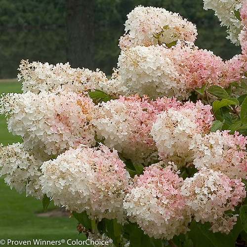 Little Lamb Hydrangea Flowers in Pink and White