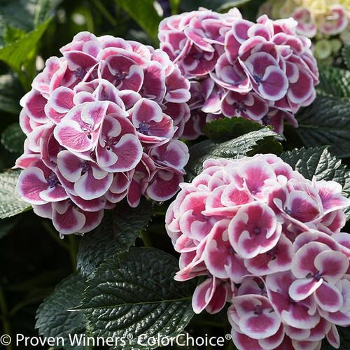 Purple and White Cityline Mars Hydrangea Flowers