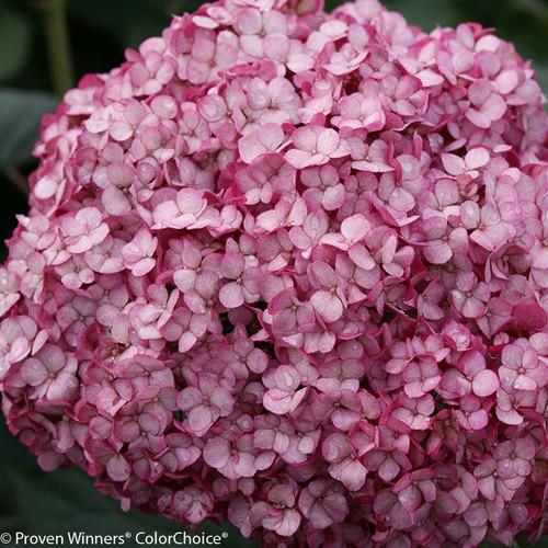 Invincibelle Mini Mauvette Hydrangea Flower