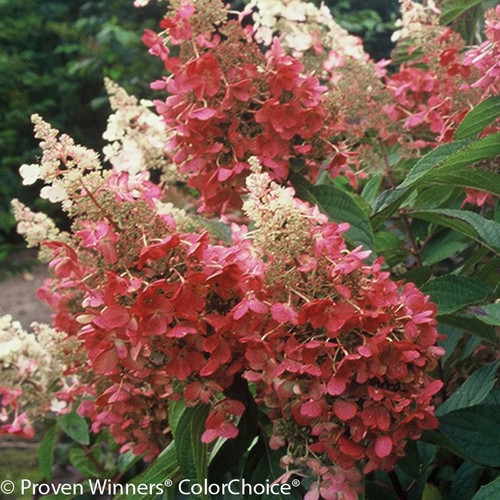 Red and White Pinky Winky Hydrangea Flowers