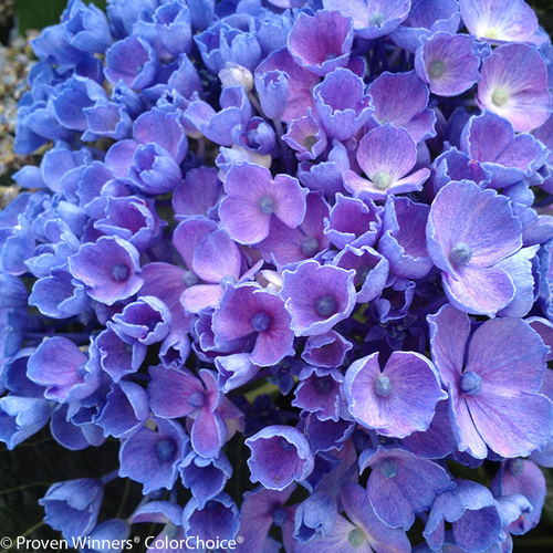 Let's Dance Rhythmic Blue Hydrangea Bloom Close Up