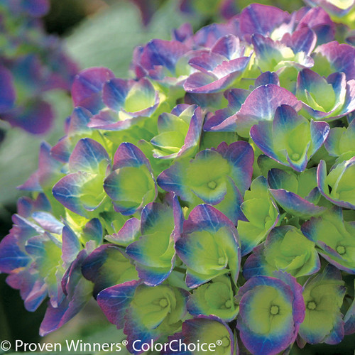 Green, Blue and Purple Cityline Rio Hydrangea Flower Head