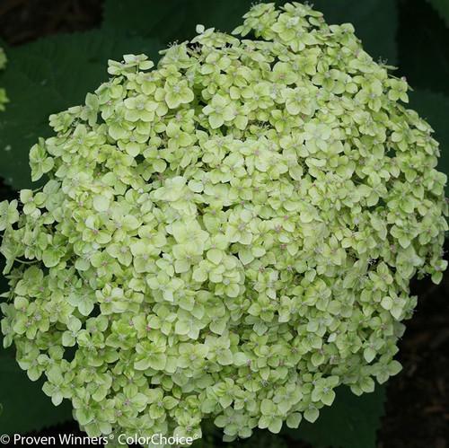 Green Lime Rickey Hydrangea Flower
